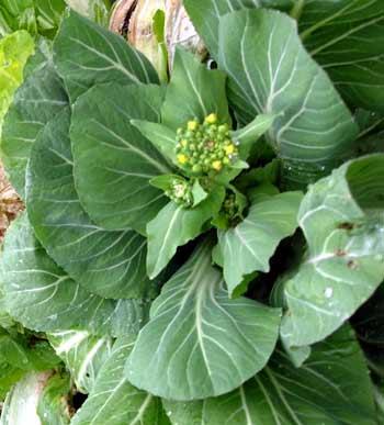広島県の伝統野菜の漬物で有名な、広島菜です。  広島菜は京都より、江戸時代に伝播したそうです