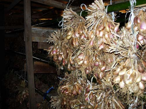 萩わけぎ(萩在来系)山口県の伝統野菜・果樹