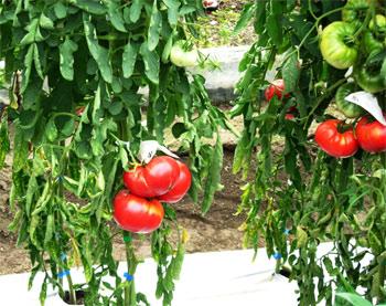生産地:兵庫県西宮市  昭和初期に兵庫県神戸市東灘区において栽培されていました。