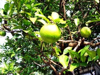 大日比は、夏みかん(夏蜜柑)の発祥の地の原木