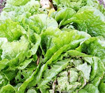 笹川錦帯白菜(ささがわきんたいはくさい) 岩国市錦見地区では、昔から白菜が盛んに栽培されていました。 笹川錦帯白菜は、『野崎白菜』から改良され昭和27年にできた白菜です。 白菜の葉には、毛が生えていますが、この笹川錦帯白菜には毛が無く甘みのある白菜です。 生産量も少なく、市場に出回ることはほとんどありません。